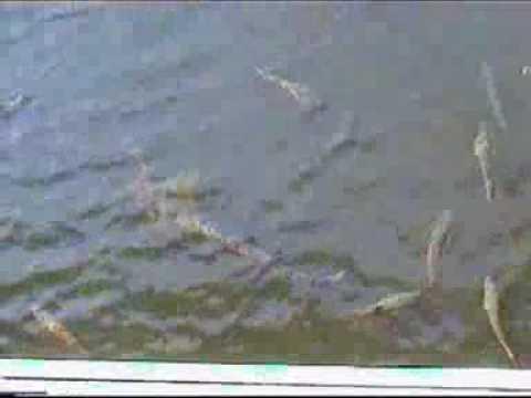 Huge fish in Chernobyl - YouTube