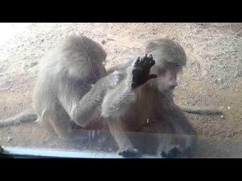 Arabian Baboon at Arabia's Wildlife Centre in Sharjah القرد العربي في الشارقة