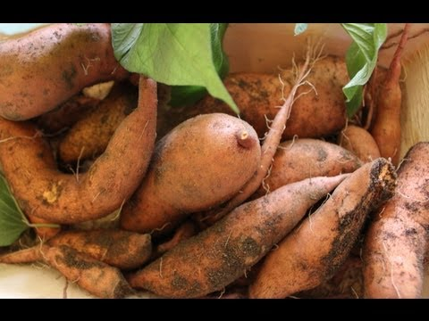 Container grown organic sweet potatoes in a cold climate - final ...