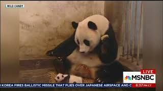 MSNBC interrupts interview with Hillary Clinton to watch panda video
