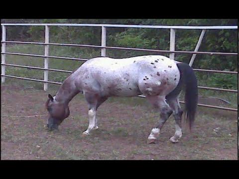 El caballo de las ciento y pico.. se despide del coleo..