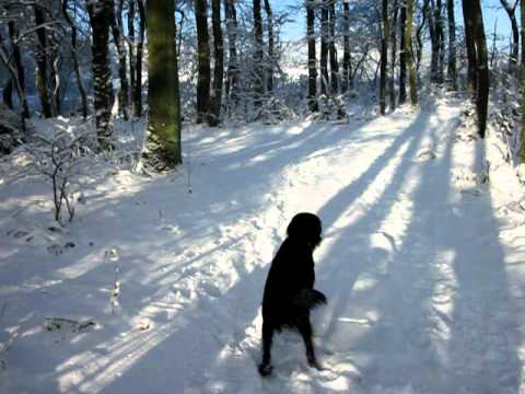 Tess flatcoated retriever in de sneeuw