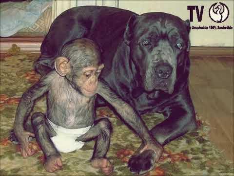 Perra mastín adopta chimpancé bebé entrañables imágenes