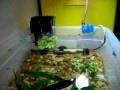 Mini guppy breeder pond