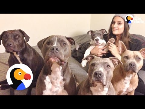 Pitbulls Being Cute: Family Can't Stop Fostering Pit Bulls | The Dodo