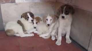 Mastine pups