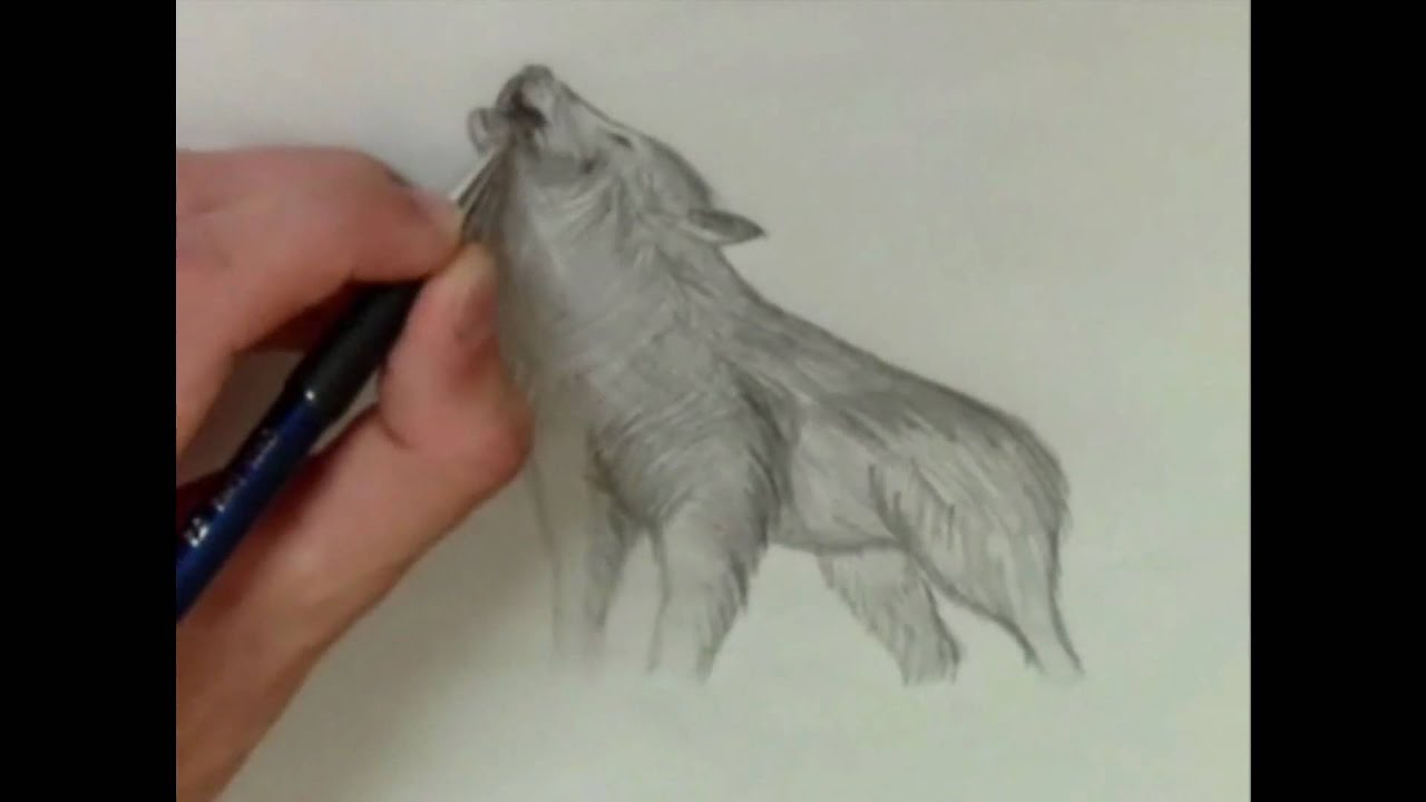 How to draw real wolf