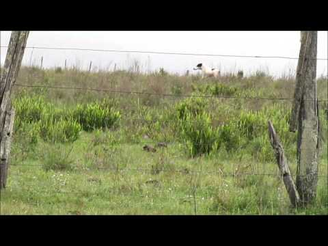 Galgos y liebres en Rivera Uruguay