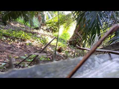 Ayam Hutan Pikat Betina 2 - Warisan video