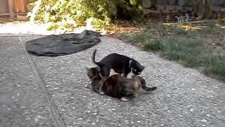 Dog humps cat #1