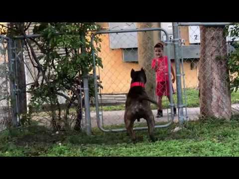 pitbull barking at kid !!!