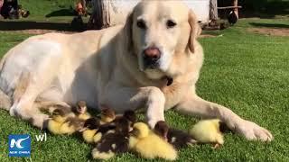 Chú chó labrador trở thành bố nuôi của chín chú vịt con