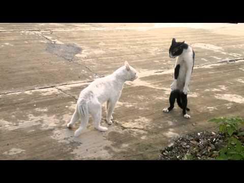 これはすごすぎる!喧嘩になって二本足で立つ猫ちゃん
