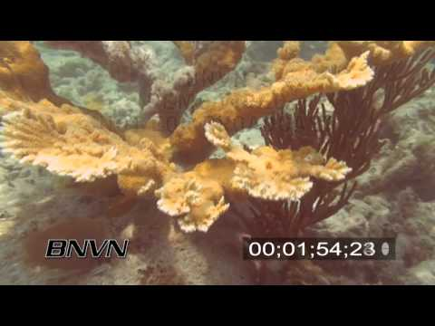 6/20/2007 Elkhorn Coral stock footage
