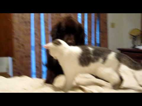 Newfie and her cat