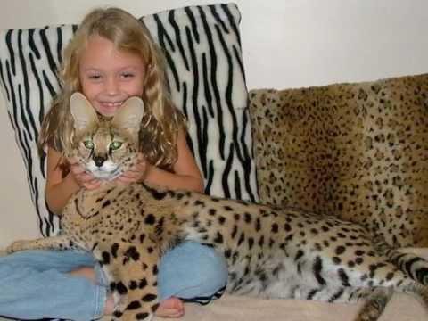 ocelot kitten surprises the girl dwarf leopard   youtube