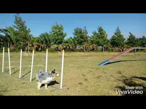 Australian Shepherd Shay Running contacts 12012017 different exits 0-70 degrees