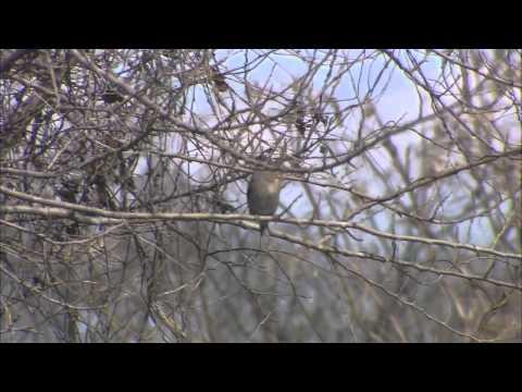 岐阜県の野鳥 07「シメ、タシギ」