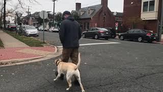 10 mo Lab (Savannah) Best dog trainers in Virginia