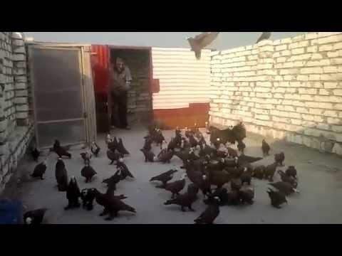 حمام  طيور الحمر الاصليه ابو سجاد التركماني الحسينيه Music Videos