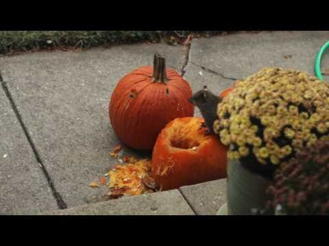 drunk squirrel eating out of a pumpkin