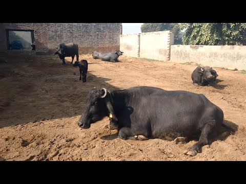 Murrah buffalo farm