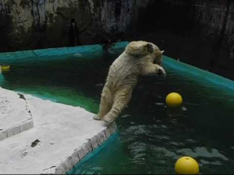 後ろ向きに (静岡日本平動物園のホッキョクグマ、ロッシー)