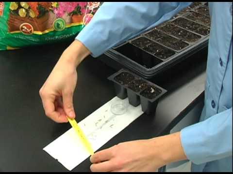 12 Seeds per Family:  Planting Brachypodium Seeds