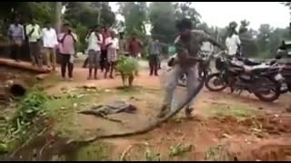 Thanh niên bắt được con rắn hổ mang chúa khủng nằm trong ụ mối ,khiến nhiều người thán phục
