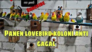 Panen anakan lovebird koloni