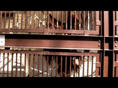 オランウータン(茶臼山動物園)