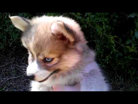 Pomsky With Blue Eyes Real pomsky puppies with blue