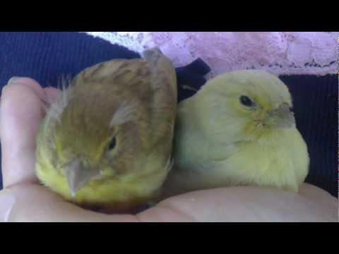 Vital Canary - Canary Life