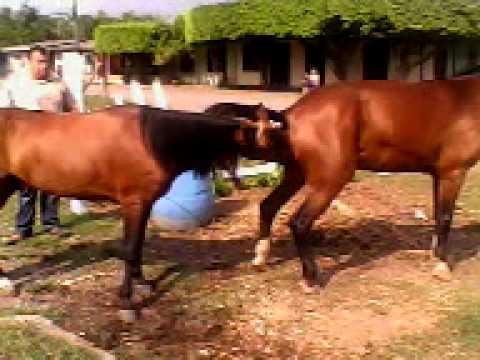 Apareamiento de caballos youtube - Como se aparean los elefantes ...