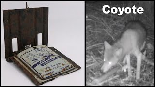 Feeding A Coyote With A Vintage Rat Trap From 1942. The Dover Rat Tap. Mousetrap Monday