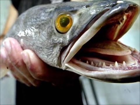 Los 10 peces mas agresivos que puedes tener en tu acuario / the 10 most aggressive fish in the world