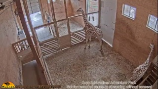 Giraffe Cam - Animal Adventure Park