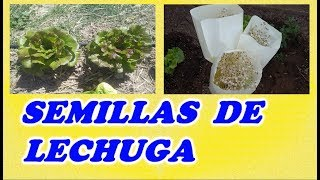 Como Obtener Semillas De Las Lechugas // As obtain seeds of the lettuce