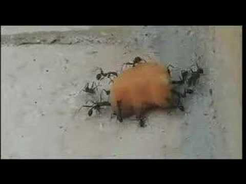 funny ants with a cookie
