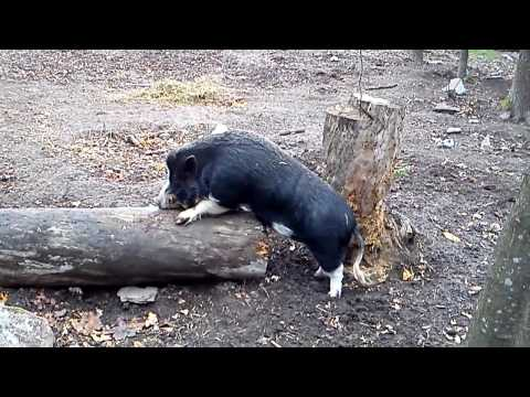 Boar fucking fallen tree and attempting to rape girl Boar