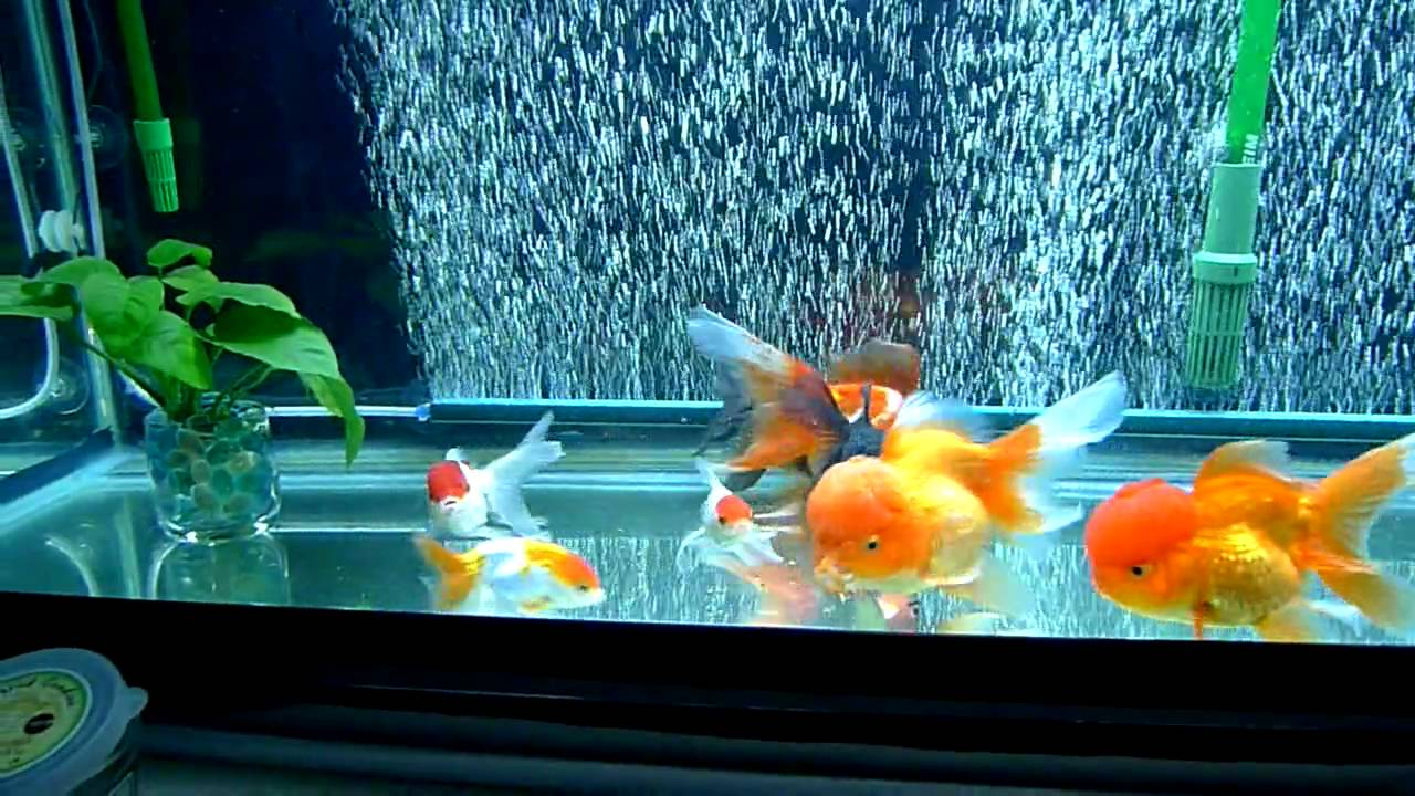 Goldfish tank youtube for Fancy fish tanks