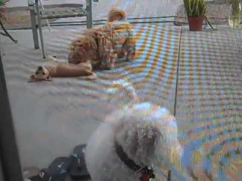 My Dogs And My Sister's Bf Dog Playing Outside In The Backyard Lol video