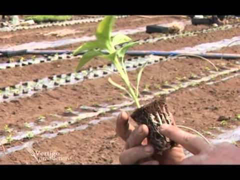 Rasadjivanje i proizvodnja paprike pod folijom - U nasem ataru 377.wmv