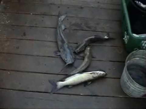 More Secret-7 bait Channel Catfish