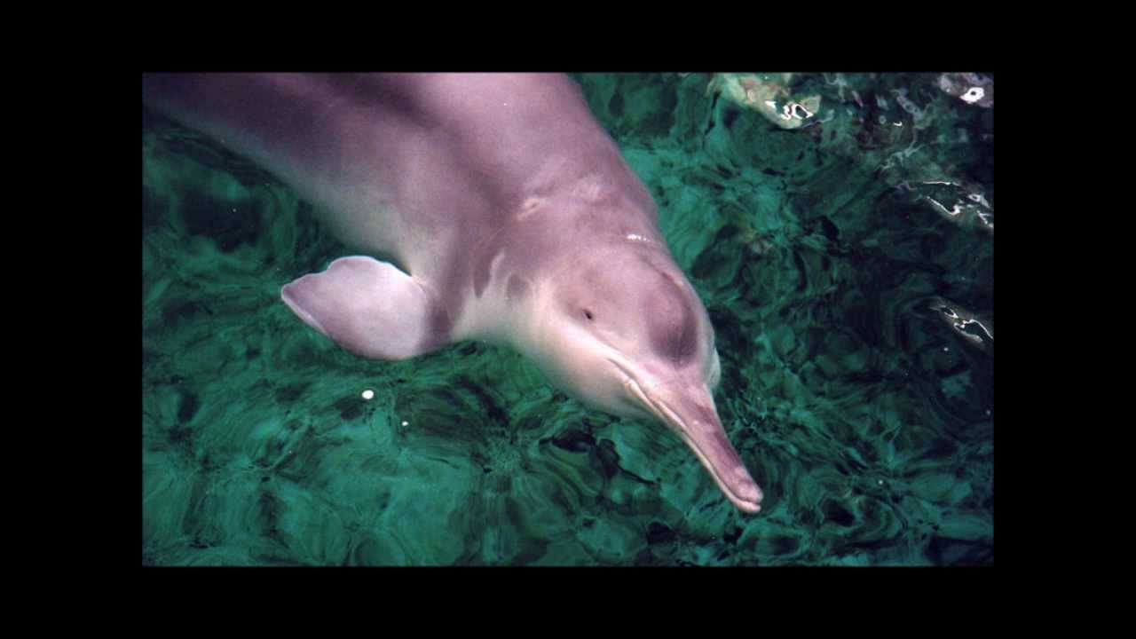 Displaying 14 gt  Images For - Baby Baiji Dolphin   Baby Baiji Dolphin
