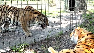 Real Tiger VS Fake Tiger