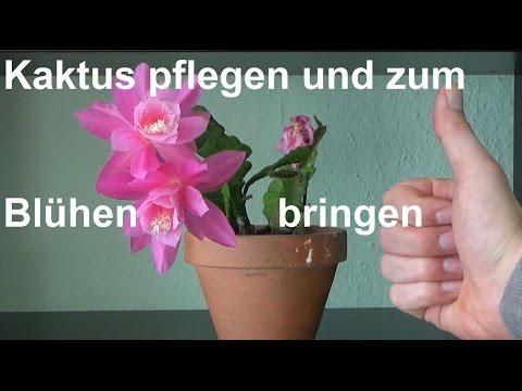 Blattkaktus Epiphyllum pflegen Kaktus zum Blühen bringen