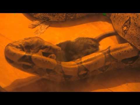 python vs rat (+18) удав ест крысу