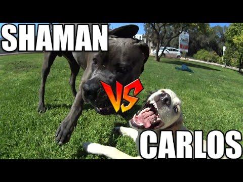 CARLOS vs SHAMAN