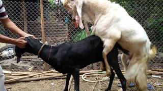 Download Goat breeding 3Gp Mp4
